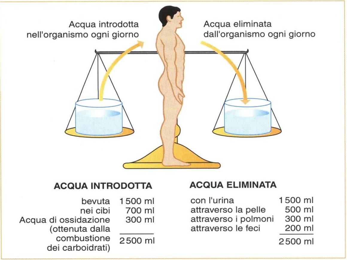 Personal Trainer Bologna Stefano Mosca - il bilancio idrico del corpo è dato dai liquidi assunti con l'alimentazione meno quelli persi con le funzioni vitali